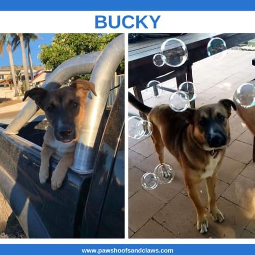 Bucky - German Shepherd x Cross breed Dog