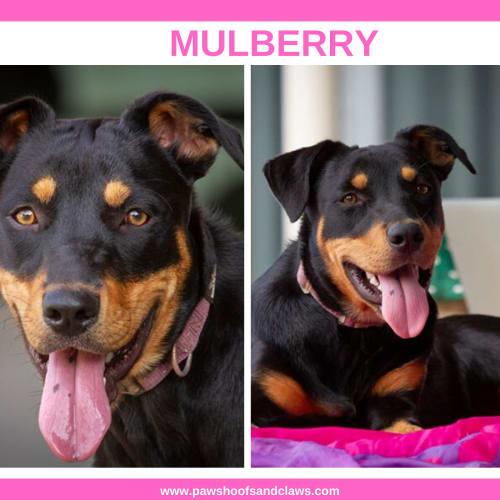 Mulberry - Rottweiler Dog