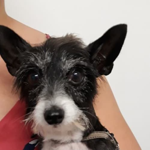 Charlie - Chihuahua Dog