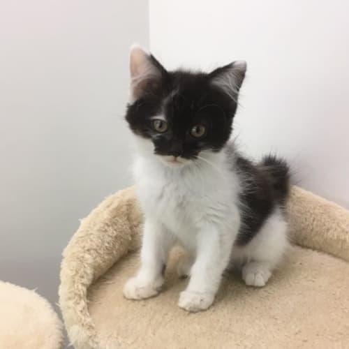 Clora - Domestic Medium Hair Cat