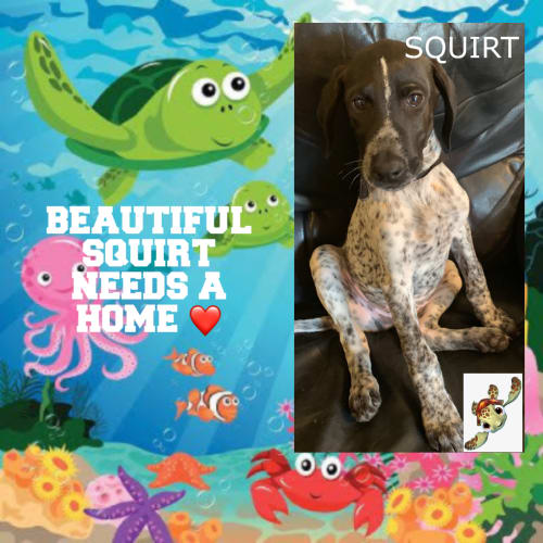 Squirt😍 - German Shorthaired Pointer Dog
