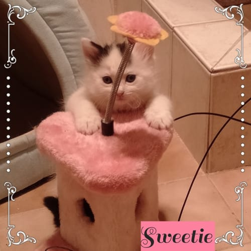 Sweetie - Domestic Medium Hair Cat