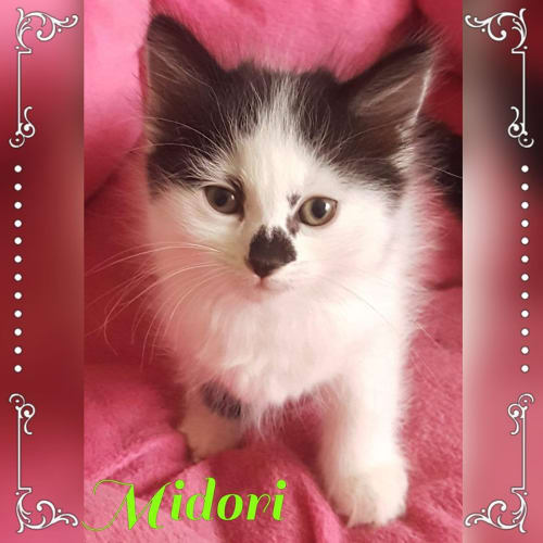 Midori - Domestic Medium Hair Cat