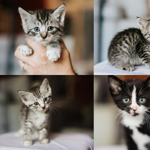 69/67/66/65 - Mark Sockerburg Mags Waddles & Edith - Domestic Short Hair Cat