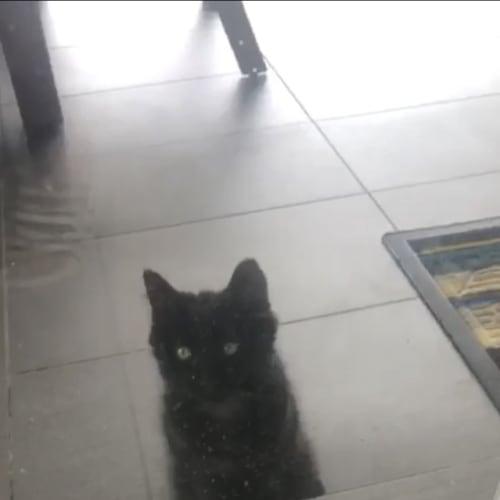 Bounty - Domestic Medium Hair Cat