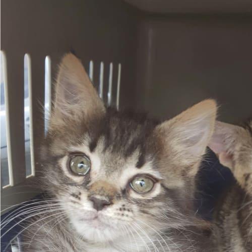 Max - Domestic Medium Hair Cat