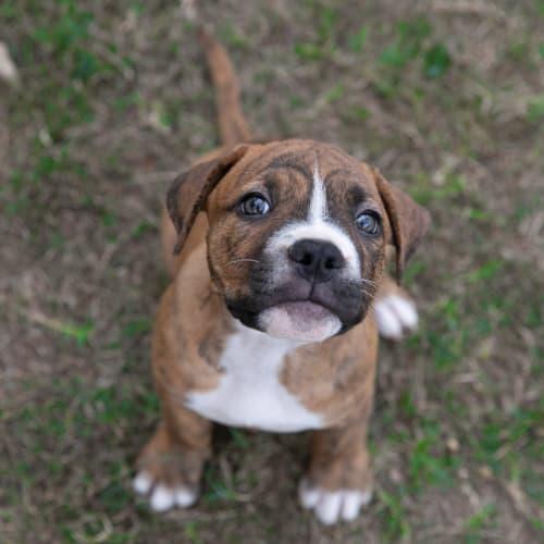 Ai - Staffy Dog