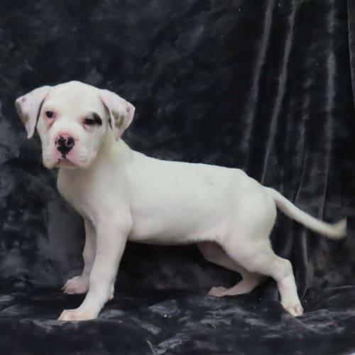 Willow - American Bulldog