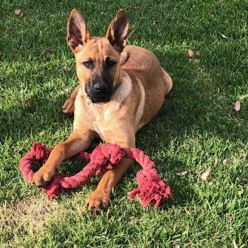 Zac - German Shepherd Dog