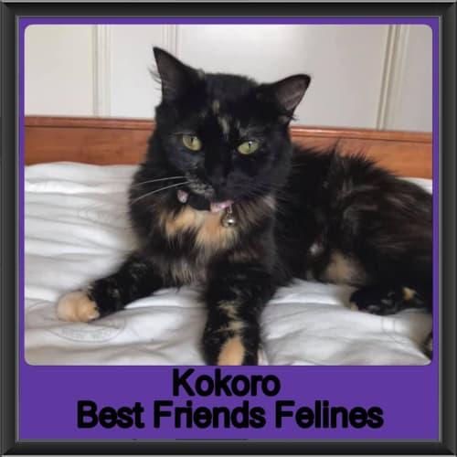 Kokoro  - Domestic Medium Hair Cat