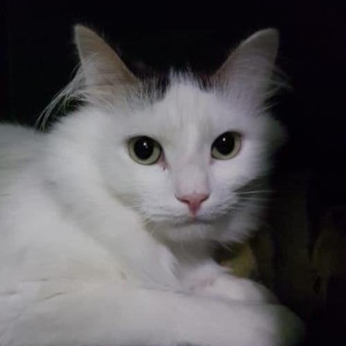 Fizz     917267 - Domestic Medium Hair Cat