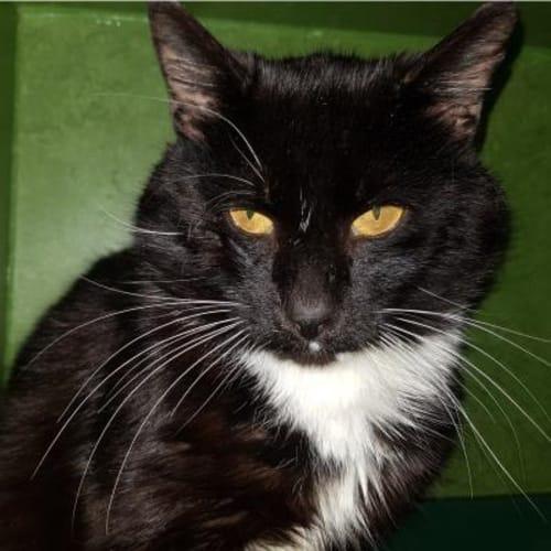 Bandit    929859 - Domestic Medium Hair Cat