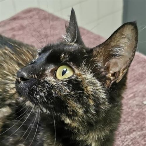 Candy - Domestic Short Hair Cat