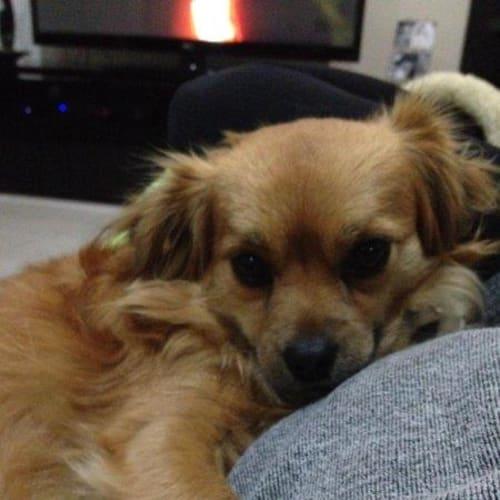 Ella and Zulu - Chihuahua Dog