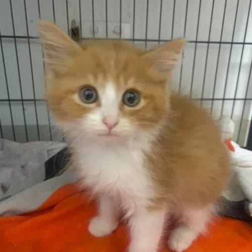 Leonard - Domestic Medium Hair Cat