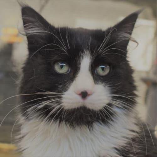 Stash    932153 - Domestic Medium Hair Cat