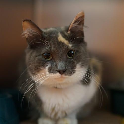 Lena - Domestic Medium Hair Cat