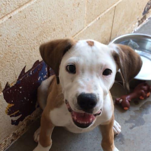 Barney - Bull Arab Dog