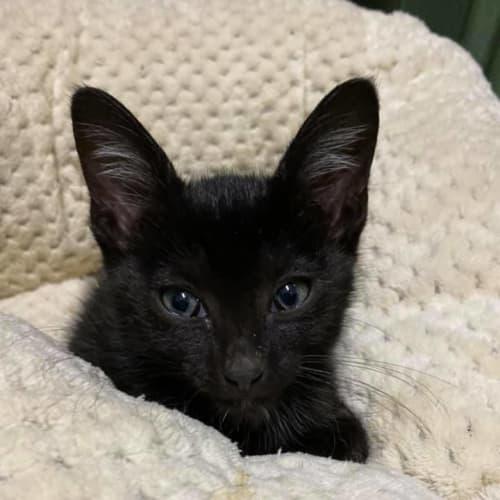 Logan - Domestic Short Hair Cat