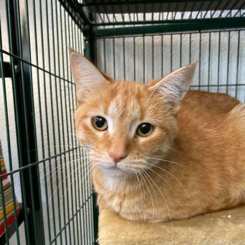 June - Domestic Short Hair Cat