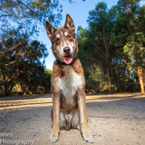 Harley DL2305 - Siberian Husky x Collie Dog