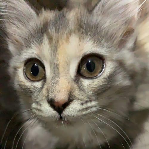 Dora - Domestic Medium Hair Cat