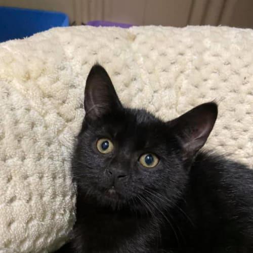 Aloha - Domestic Short Hair Cat