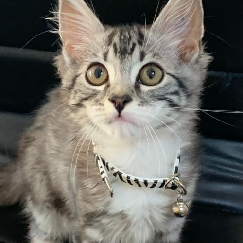 Diego - Domestic Medium Hair Cat