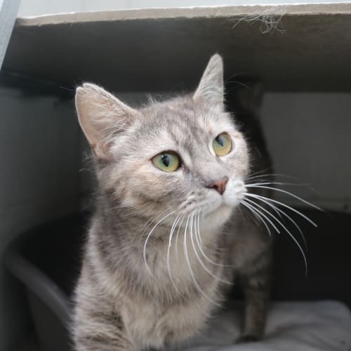 Lucy 927972 - Domestic Short Hair Cat