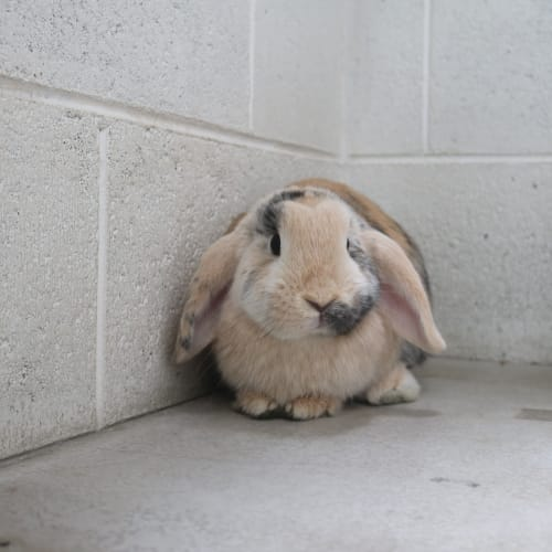 Zelda 930359 - Mini Lop Rabbit