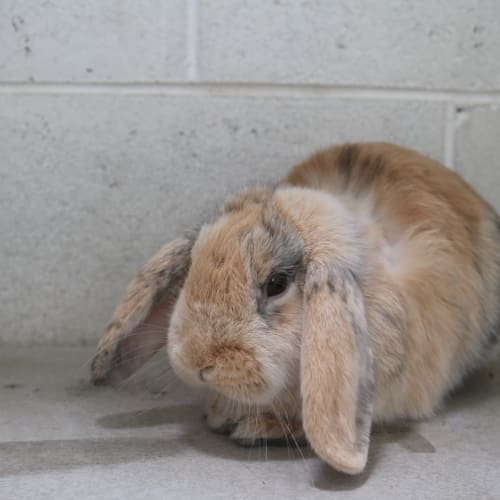 Hilda 930360 - Lop Eared Rabbit
