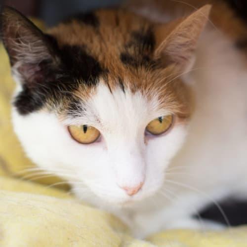 Kendell - Domestic Short Hair Cat