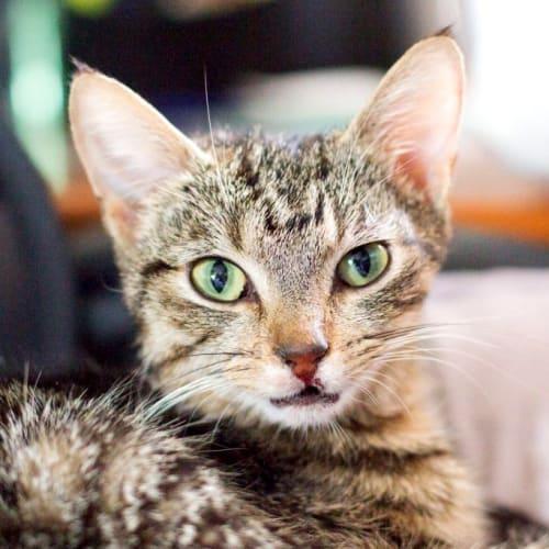 Gisele - Domestic Short Hair Cat