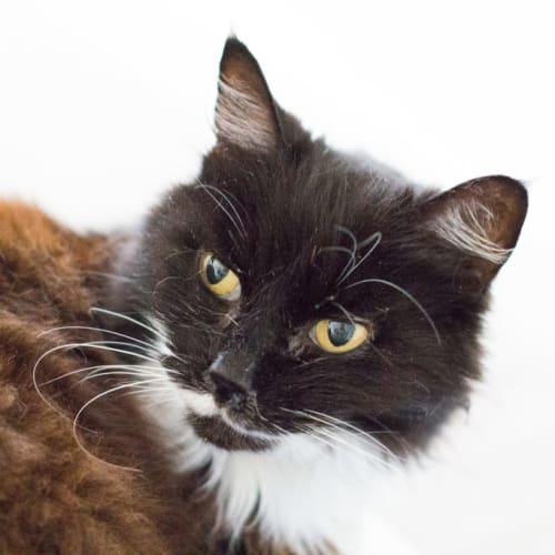 Delia - Domestic Medium Hair Cat