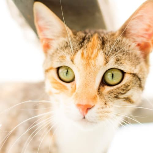 Tyra - Domestic Short Hair Cat