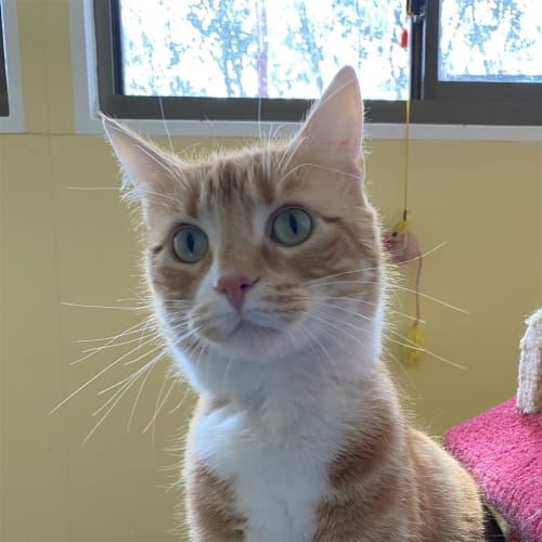 Yoshi - Domestic Short Hair Cat