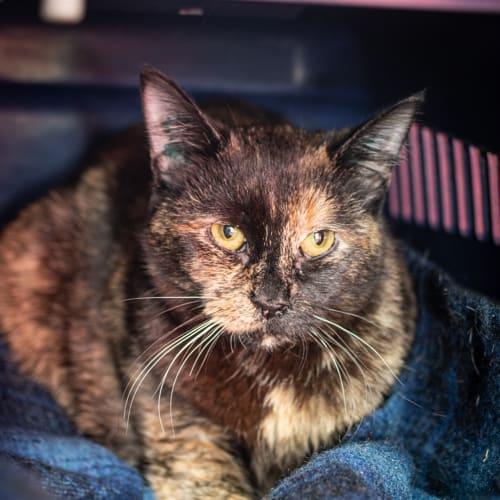 Corina - Domestic Short Hair Cat