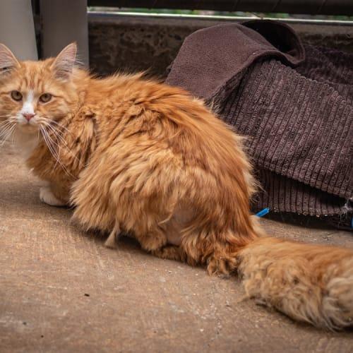 Leo - Domestic Medium Hair Cat