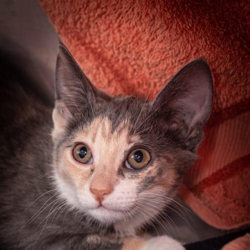 Tinkerbelle - Domestic Short Hair Cat