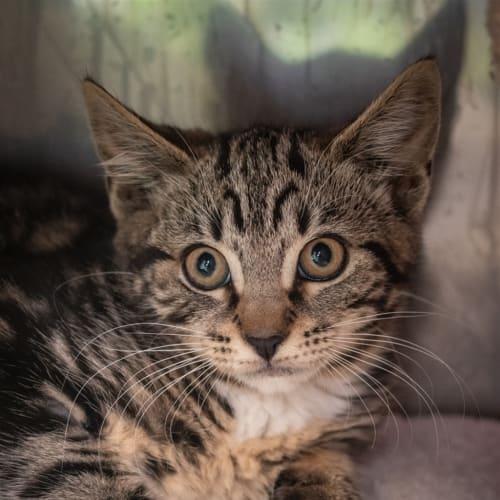 Patricia - Domestic Short Hair Cat