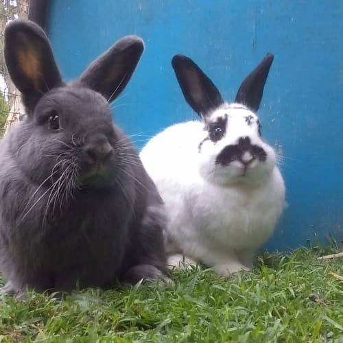 Sophie & Amelia - Netherland Dwarf x Dwarf lop Rabbit