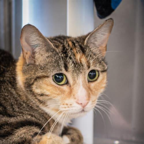 Fusilli - Domestic Short Hair Cat