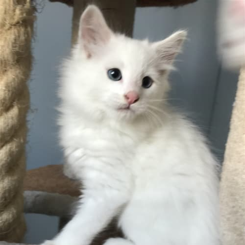 Olaf - Domestic Medium Hair Cat