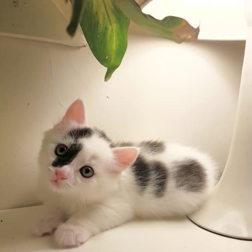 Scout - Domestic Medium Hair Cat
