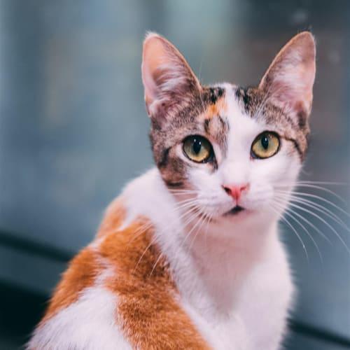 Brea - Domestic Short Hair Cat