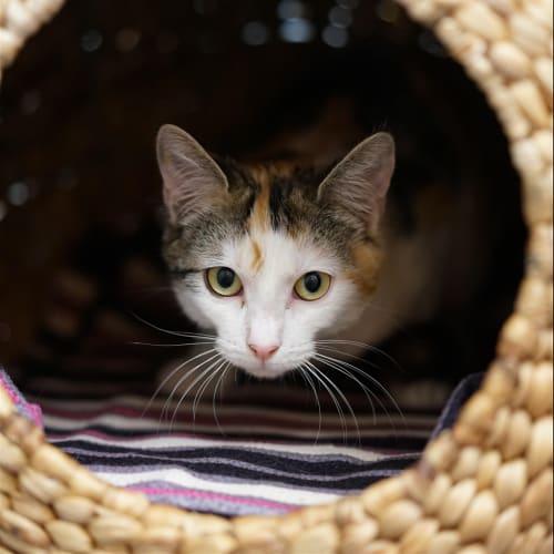 Cheryl - Domestic Short Hair Cat