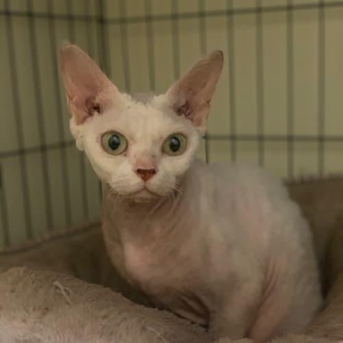 Lace - Devon Rex Cat