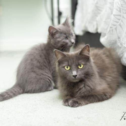 Luna **2nd Chance Cat Rescue** - Domestic Medium Hair Cat