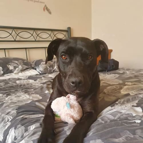 Layla D0107 - American Staffordshire Terrier Dog