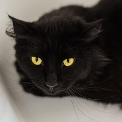 134 - Phantom - Domestic Medium Hair Cat